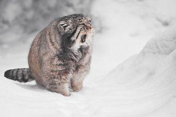 Hij opent zijn mond in miauwen of gapen, sneeuw rondom, pluizige vacht. Ernstige, wrede, pluizige, w van Michael Semenov