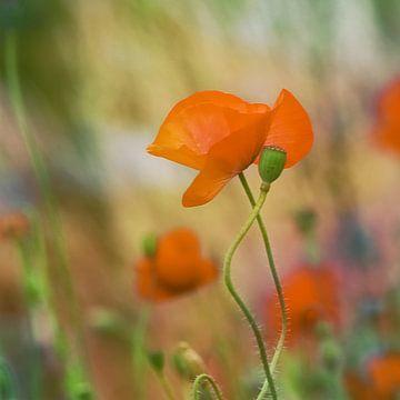 klaproos oranje van Yvonne Blokland