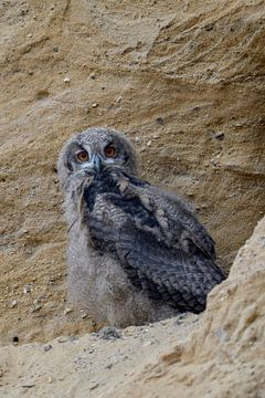 Europese oehoe ( Bubo bubo ), jonge vogel in een zandbak, nog in een Dunenkleid, kijkt in de camera, van wunderbare Erde