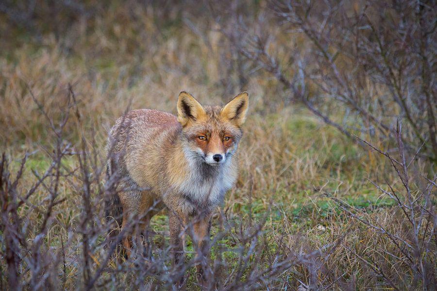 Foxy Lady van Sander Meertins