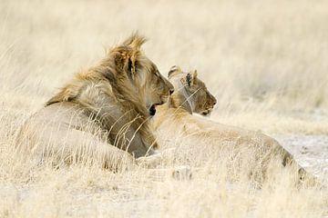 Löwen ruhen im goldgelben Gras von Melissa Peltenburg