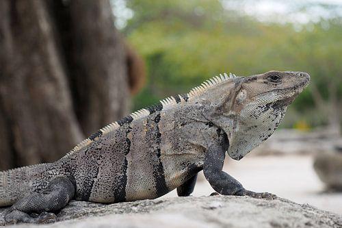 Ctenosaura similis , Black iguana. von Astrid Brouwers