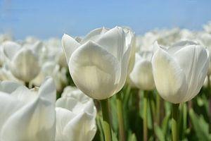 Tulpen, wit