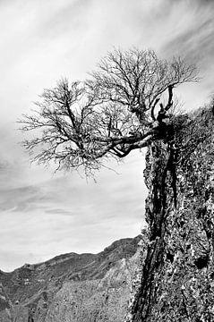 Bergkiefer von Georg Tausche