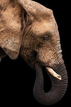 Jonge olifant in profiel, kleur van De Afrika Specialist