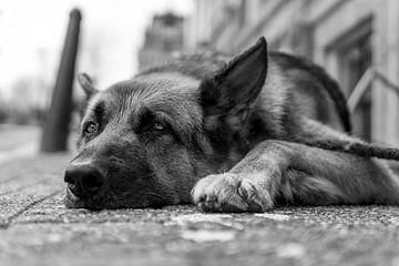 Deutscher Schäferhund auf dem Bürgersteig von Joost Potma