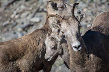Vader geit beschermt familie von Milou Mouchart