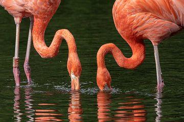 Flamingos beim Frühstück von Uwe Ulrich Grün