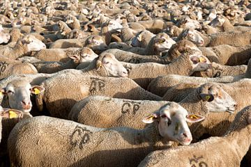 Schafe von Liesbeth Govers voor omdewest.com
