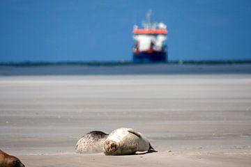 Zandbank met zeehonden op het wad van