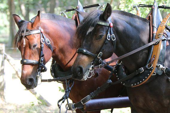 Twee krachtige gespierde trekpaarden