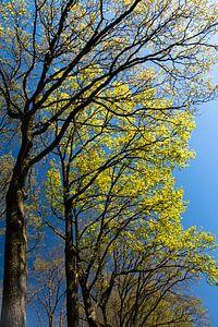 groene bomen tegen een blauwe lucht in de lente van Eline Oostingh