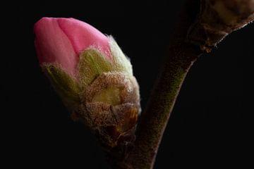 Nahaufnahme einer rosa Blüte von Latifa - Natuurfotografie