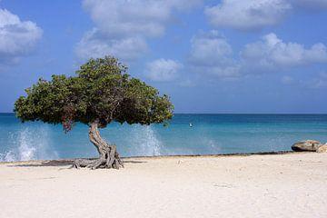 dividivi tree Aruba von gea strucks