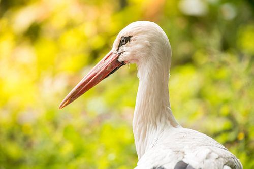 Witte ooievaarsvogel close-up portret