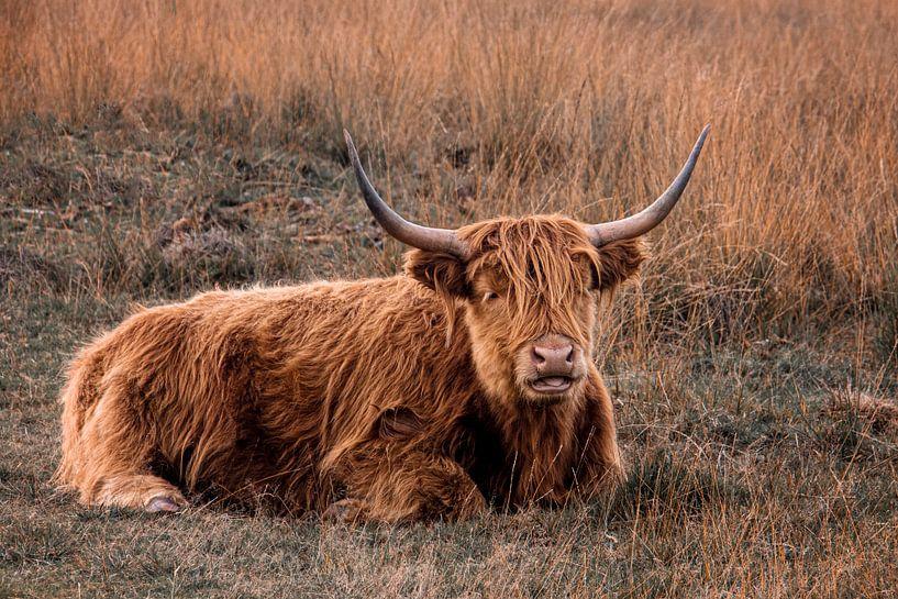 Highlander écossais sur Ronenvief