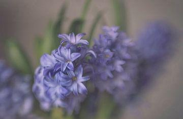 Hyacint in blauw van