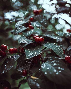 Rote Beeren Nahaufnahme von domiphotography