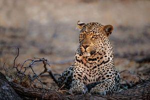 Vrouwtjes Luipaard (Panthera pardus) portret, Zuid-Afrika