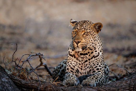 Vrouwtjes Luipaard (Panthera pardus) portret, Zuid-Afrika van Nature in Stock