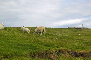 schapen in scotland van Babetts Bildergalerie