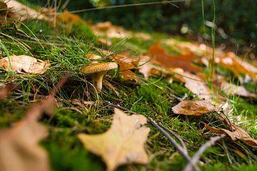 Paddenstoel in een herfstbos met bladeren van Fotografiecor .nl