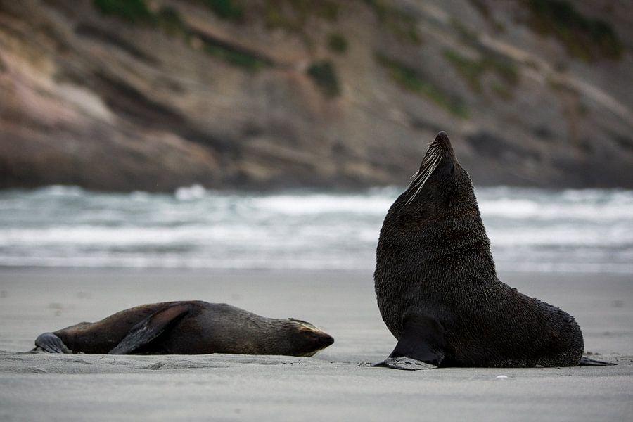 Twee pelsrobben op Wharariki Beach, Nieuw-Zeeland