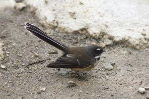 Pauwstaart vogel van