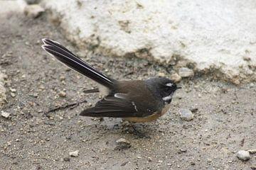 Pauwstaart vogel van Inge Teunissen