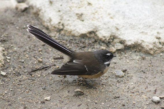 Pauwstaart vogel