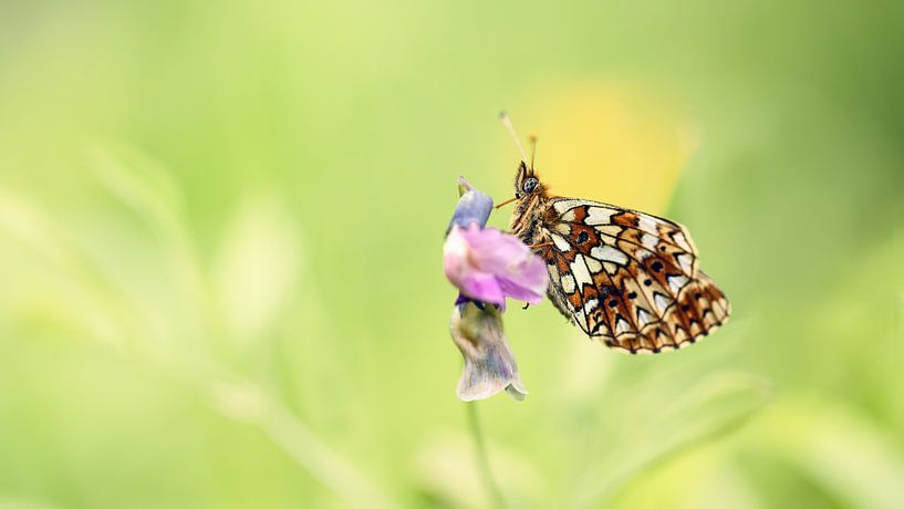 Vlinder op een roze bloem van Yvonne Kruders