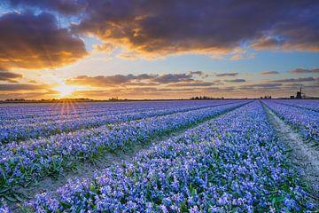 Blau blühende Zwiebelfelder bei Sonnenuntergang von eric van der eijk