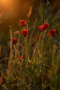 Mohnblumen in der Morgensonne. von Janny Beimers