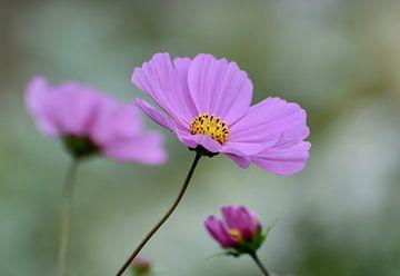 violette Blumen von Mieke Verkennis