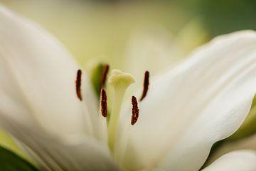 Lilie Blume Nahaufnahme
