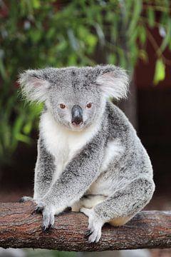 Koala van Dirk Rüter