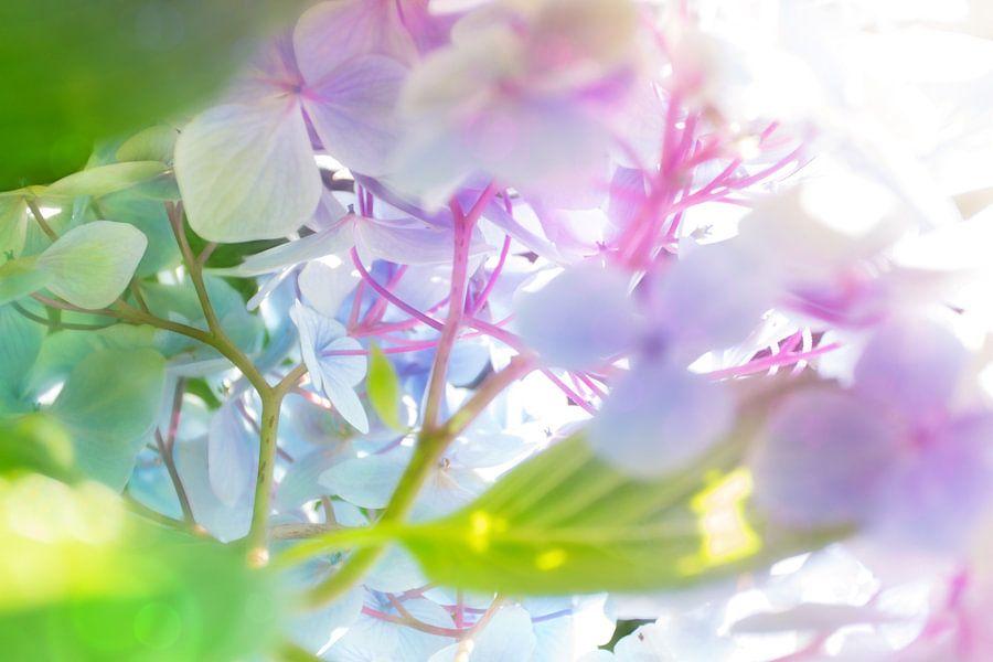 hydrangeas abstracta