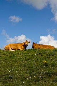 Koeien op de dijk van