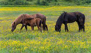 Drie IJslandse Paarden