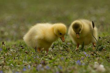 Twee gele jonge eendjes in het gras van