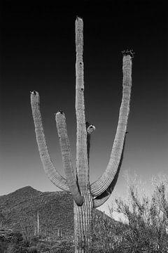 SAGUARO NATIONAAL PARK Saguaro Cactus van
