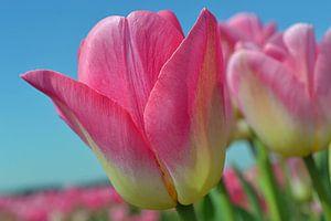 Tulipes roses dans la zone de culture des bulbes/les Pays-Bas