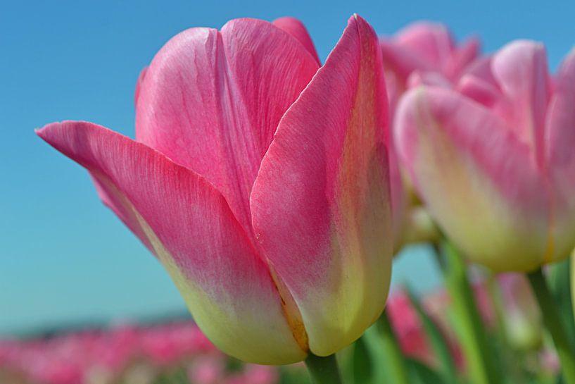 Tulipes roses dans la zone de culture des bulbes/les Pays-Bas sur JTravel