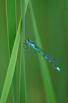 Blauwe libelle in het groen van Jeroen van Deel