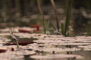 Lelies op het water van