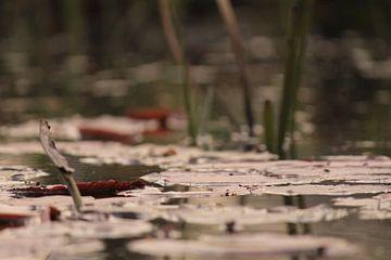 Lelies op het water van Lisa-Valerie Gerritsen