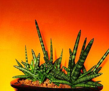 Kamerplant: Sansevieria Cylindrica Shabiki 6 van MoArt (Maurice Heuts)