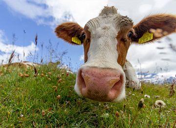 Neugierige Kuh, Grindelwald, Schweiz von Sebastiaan Terlouw