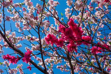 Roze bloesem tegen de blauwe hemel van Tessa Louwerens