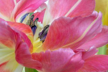 Het hart van de roze tulp van Kok and Kok